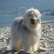 fransk bomulds hund