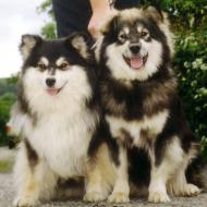 sort og hvide familiehunde