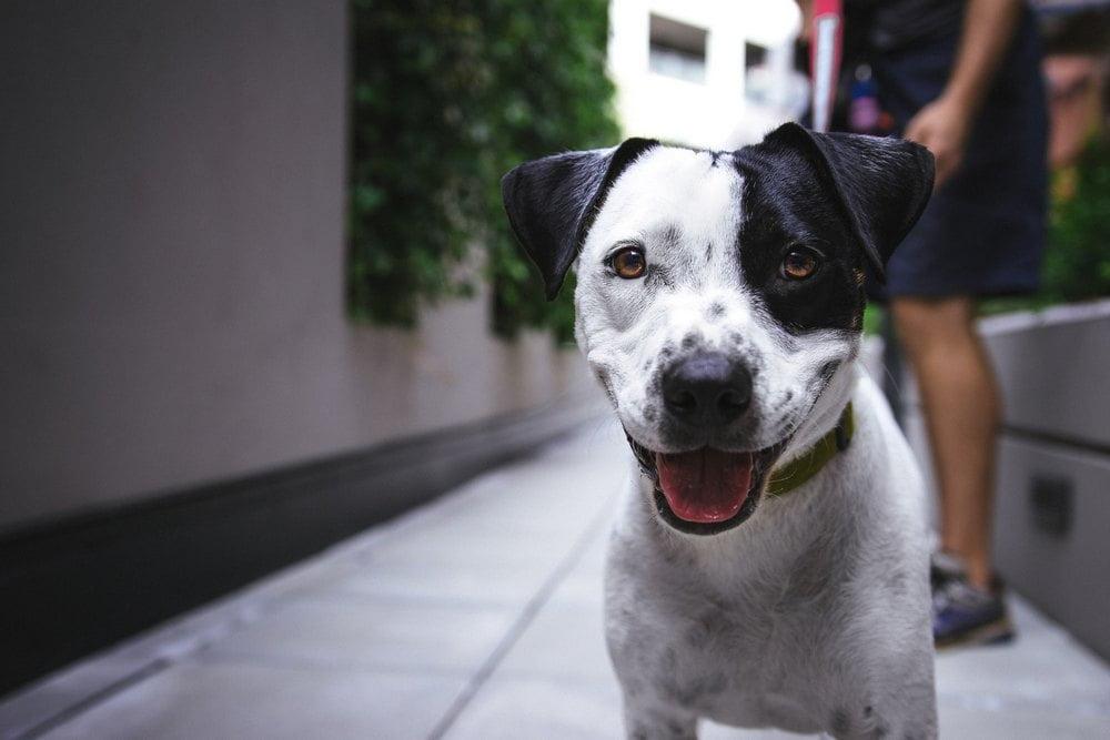 Fordele og ulemper ved at adoptere en hund
